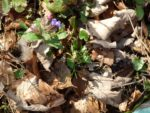 lungwort in the early spring in the forest