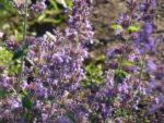 Nepeta or catnip flower