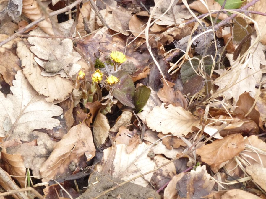 coltsfoot plant emerging from ground