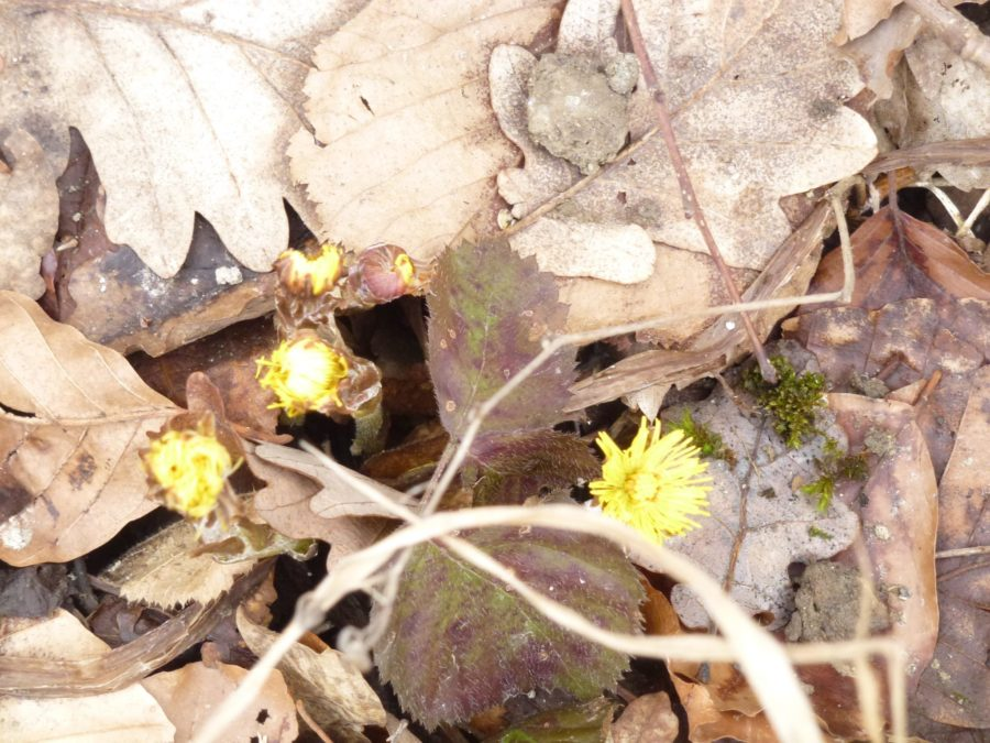 Coltsfoot in forest through leaves