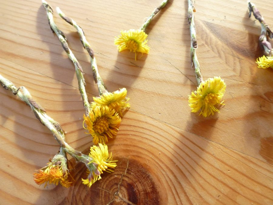 Coltsfoot drying