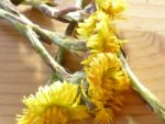 Coltsfoot drying close up