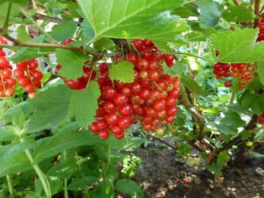 Redcurrant berries – Johannis Beeren