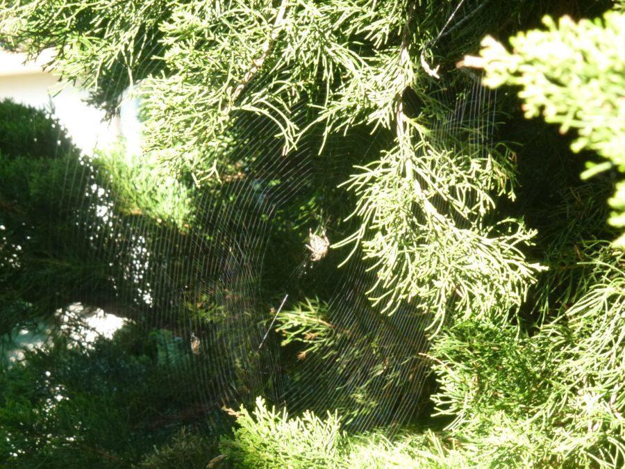 Spider in net