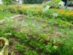 Mijn biologische tuin augustus 2019