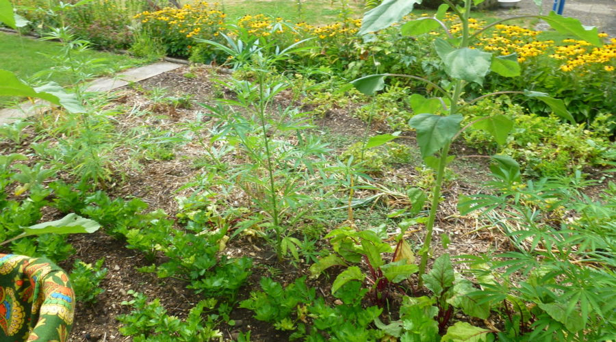 My organic garden Aug 2019