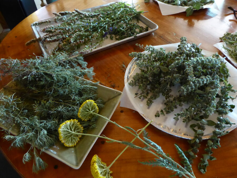 picked herbs, beginning their drying process