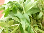 Lemon Verbena fresh picked