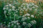 fleur d'anis