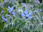 borage in my garden