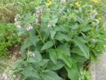 comfrey in my garden