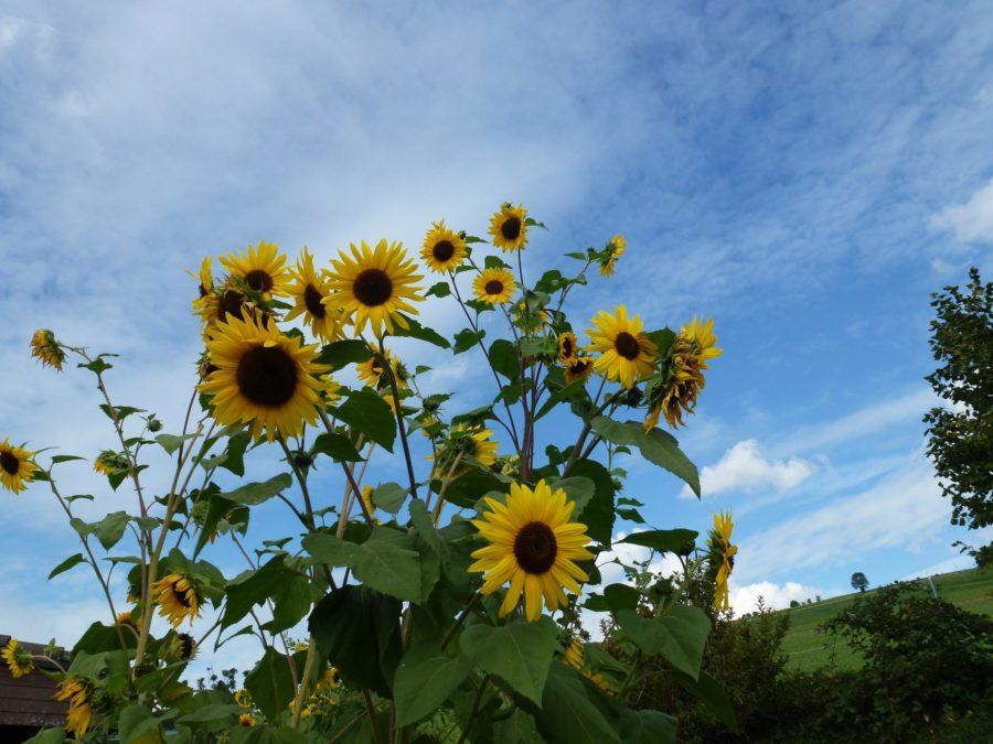 end summer sunflower