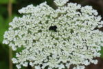 queen annes lace in forest